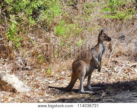 Kangaroo: Yanchep National Park, Australia