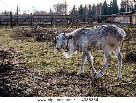 Reindeer In The Paddock On The Farm.