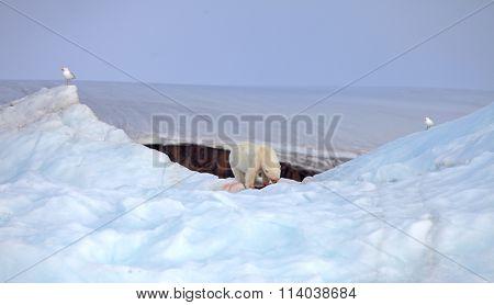 Polar bear on iceberg with its prey