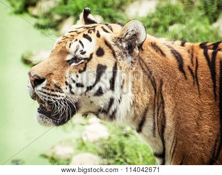 Siberian Tiger (panthera Tigris Altaica) Portrait, Animal Theme