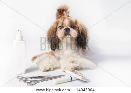 Beautiful Groomed Shih-tzu Red Puppy Portrait