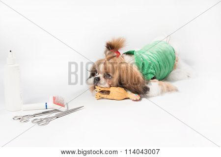 Well Groomed Shih-tzu Puppy In Green Coat
