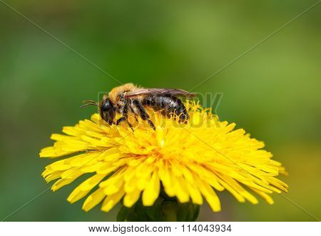 Bee On Blossom Dandelion Head
