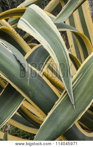 Close up of interleaved leaves of succulent plant agave americana marginata.