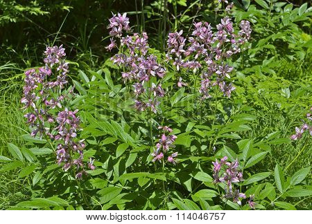 Flowers Fraxinella