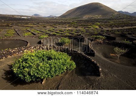 Lanzarote Spain La Geria Cultivation Viticulture Winery