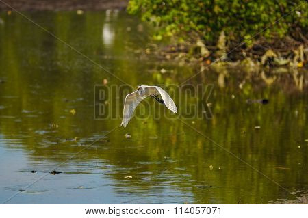 Great White Egret in flight over water village Patau Patau bay in Labuan FT, Malaysia.