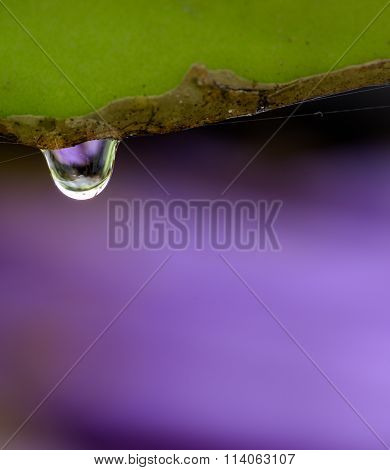 Close Up Water Drop On Dragon Plant Asia With Purple Background