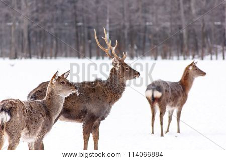 Sika Deer Standing In The Woods In Winter.