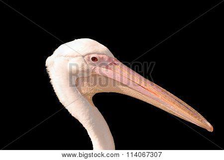 White Pelican (Pelecanus onocrotalus) on a black background