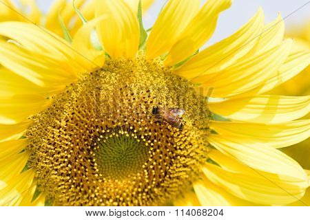 Sunflowers Farming Helping To Increase Honey Bee Population Asia, Large Colourful Yellow Sunflowers