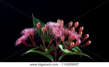 Elegant Bouquet Of Pink Eucalyptus Flowers Isolated On Black Background