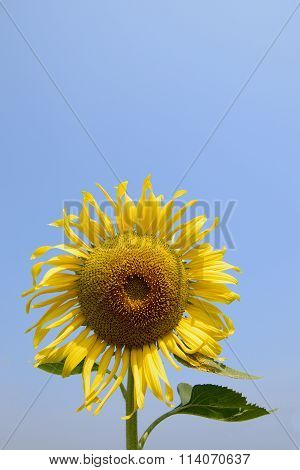Sunflowers farming helping to increase honey bee population Asia large colourful yellow sunflowers w