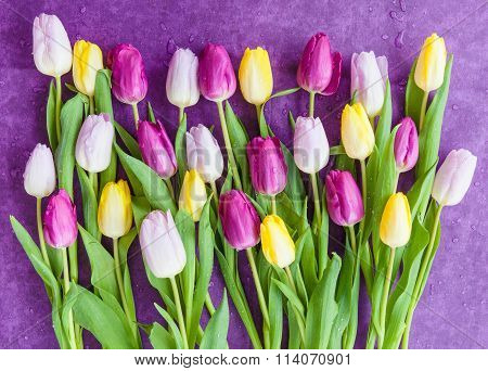 Fresh Tulips On Purple