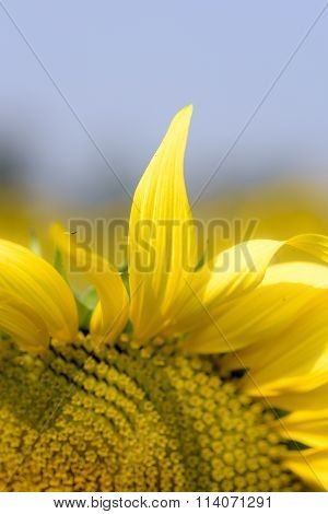 Large Colourful Yellow Sunflowers With Blue Sky Background