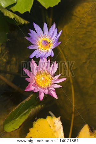 Purple And Blue Dwarf Water Lilies Plants Of Rivers And Waterways Asia