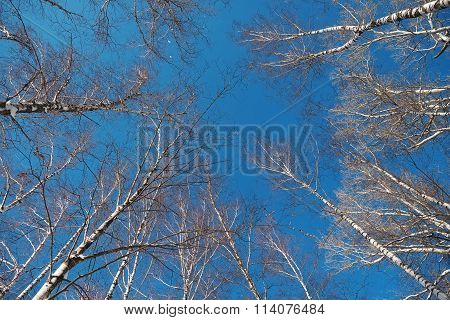 Trunks Of Birch Trees Against The Clear Sky