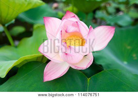 Lotus beautiful