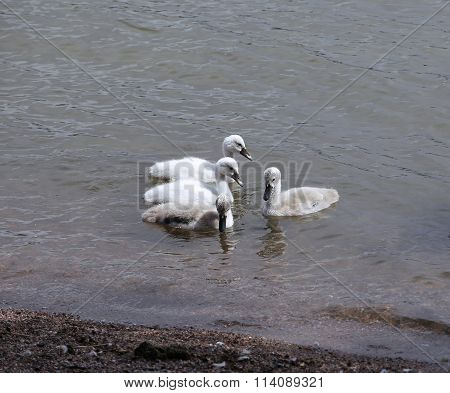 Young White And Gray Cubs Of Swans In The Water