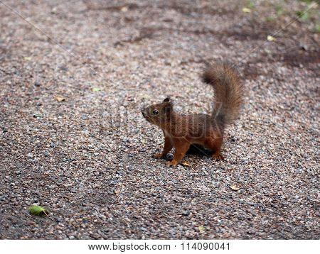 A Forest Squirrel