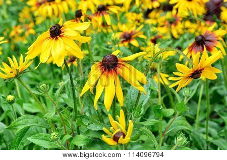 Cone Flower Is A Genus Of Annual And Perennial Herbaceous Plants