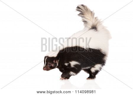 skunk portrait on white
