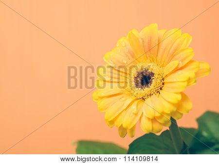 Yellow Gerbera With Green Leaves On The Orange Background
