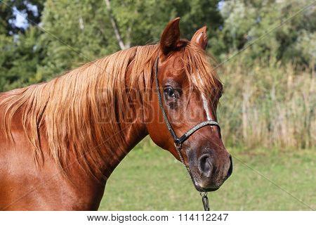 Head Shot Of A Beautiful Curious Arabian Stallion