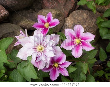 Beautiful pink clematis cultivar 'Piilu'