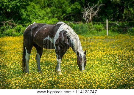 Horse Grazing In A Field of Buttercups
