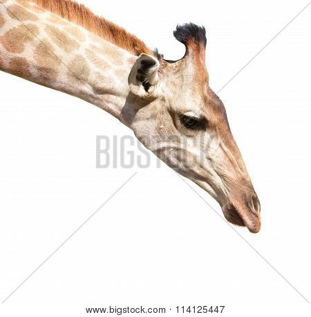 Giraffe Head Isolated On White Close Up Shot