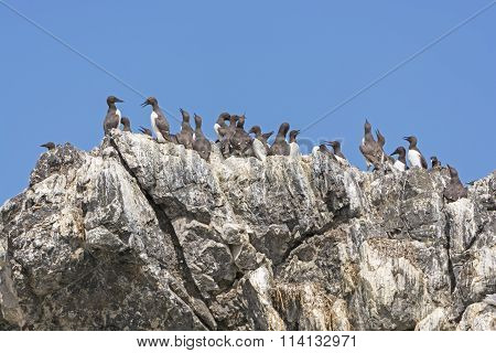 Common Murres On A Rocky Cliff