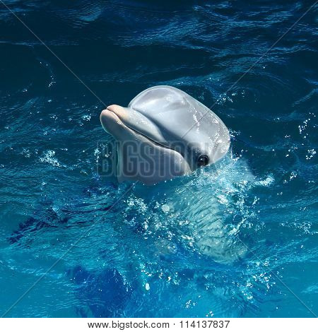 Dolphin Head Out Of Water