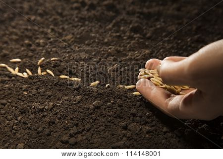 woman hand sowing weat seed