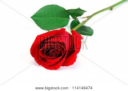 single red rose on white background