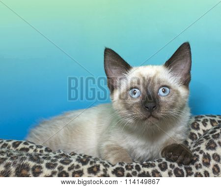 Seal Point Siamese kitten with blue eyes crouched down surprised and scared expression