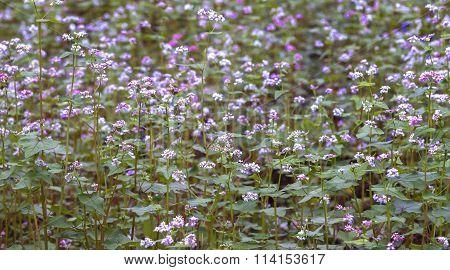 Buckwheat blooming field of flowers blooming purple
