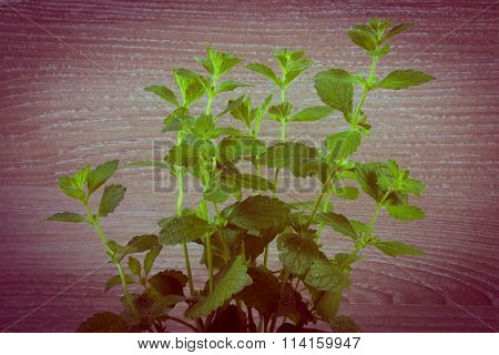 Vintage Photo, Fresh Healthy Lemon Balm, Wooden Background, Herbalism