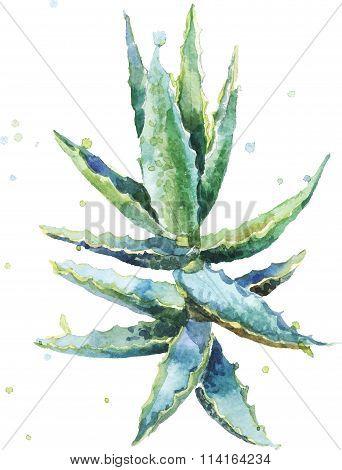 Aloe vera. Watercolor vector succulent aloe.