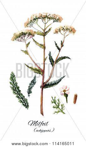 Yarrow set illustration. Hand drawn herb