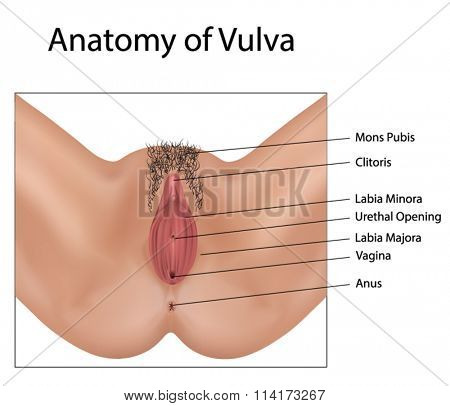 Anatomy of Vulva