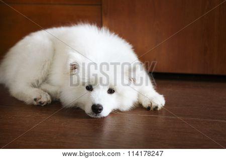 Cute Little Samoyed Puppy