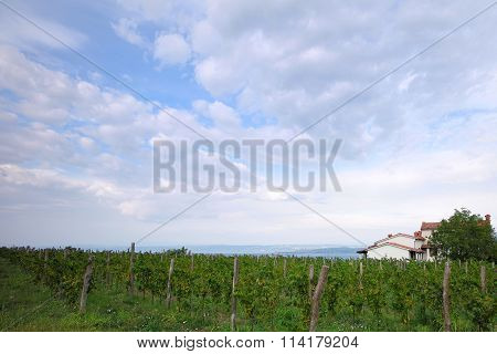 Beautiful Green Vineyard