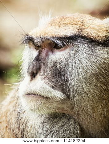 Close Up Portrait Of Patas Monkey (erythrocebus Patas)