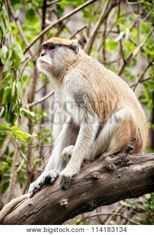 Patas Monkey (erythrocebus Patas) Sitting On The Branch And Observing Surroundings