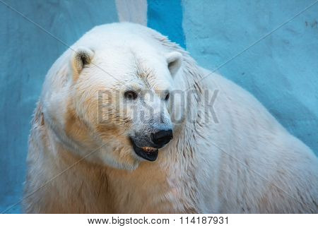 Closeup portrait of an old polar bear