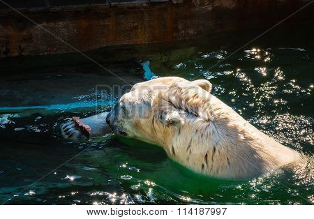 Polar bear eating fresh fish in the zoo