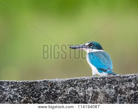 Collared Kingfisher on Wall in Langkawi, Malaysia