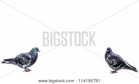 Pigeons isolated on white background.