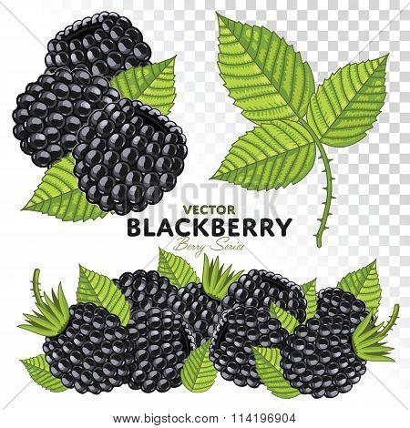 Blackberry Set, Vector.